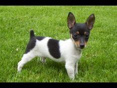 Toy Fox Terrier Dog Show 2016 WKC Westminster Kennel Club