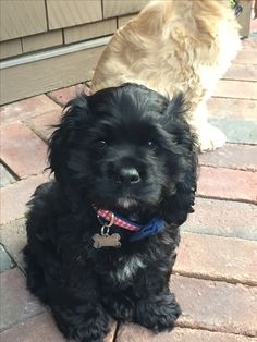 My Cocker, Spalding. Cute Dogs Breeds, Cute Dogs And Puppies, Baby Puppies, Dog Breeds, Doggies, Black Cocker Spaniel Puppies, American Cocker Spaniel, Animals Beautiful, Cute Animals