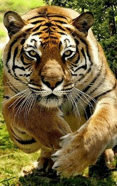 The beautiful but deadly, Bengal Tiger Beautiful Cats, Animals Beautiful, Stunningly Beautiful, Big Cats, Cats And Kittens, Animals And Pets, Cute Animals, Wild Animals, Baby Animals