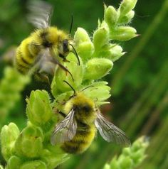 Yellow Fronted Bumble Bee  - What's That Bug?