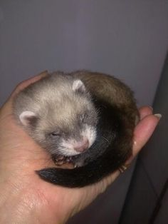"ferrets are illegal in CA #ferret    Help CA ferrets by ""supporting the little guy"" Support legislation that will make ferrets legal in CA."