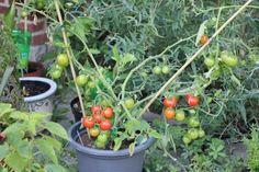 La culture des tomates en pot | Les légumes fruits | Le coin potager | Côté jardin | Jardins du Nord