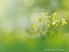 Primula veris or cowslip yellow flowers on the spring blurred background