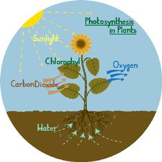 Photosynthesis diagram of a flower | Plants and Animals