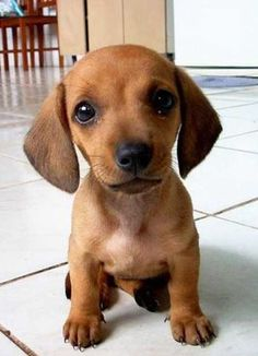Dotson Puppy So Cute Dogs Pinterest Dachshund Puppies