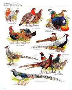 Items similar to Vintage Bird Print - Blood Pheasant, Red Junglefowl, Cheer Pheasant, Blyth's Tragopan, Common Pheasant - 1990 Vintage Book Page - 11 x 9 on Etsy Common Pheasant, Bird Identification, Fancy Chickens, World Birds, Game Birds, Chicken Breeds, Animal Posters, Animal Facts, Backyard Birds