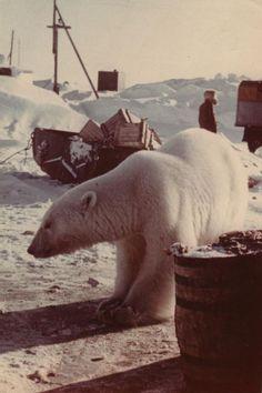 Feeding Polar Bears (12 pics)