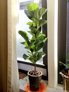 my new baby fiddle leaf fig tree - Fiddle Leaf Fig Tree Care