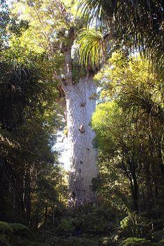 Tane Mahuta, New Zealand Kauri Tree - million years old