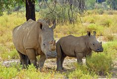 Did you know ? . . . The white rhino is the second largest land mammal in the world, after the elephant  White rhinos can weigh over . . . .  Curious? Then go visit us on Facebook for more interesting facts! :-) https://www.facebook.com/pages/GocheGanas-Private-Nature-Reserve-Wellness-Village/417165918352146?ref=ts&fref=ts . . . #africa #namibia #windhoek #safari #rhinoceros #rhino #nature #wellness #fitness #destination #gocheganas #lodge #travel #holiday #landscape #wildlife #wilderness
