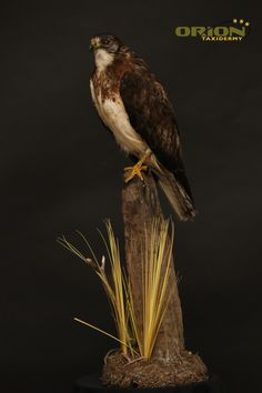 Table top base Taxidermy, Bald Eagle, Birds, Base, Top, Animals, Animales, Animaux, Bird