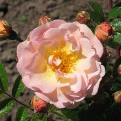 Ghislaine De Feligonde - Roser - Lundebygartneri Flowers, Plants, Plant, Royal Icing Flowers, Flower, Florals, Floral, Planets, Blossoms