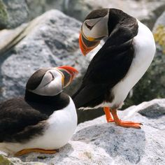 Puffins such funny looking birds