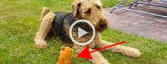 Dan a su perro un juguete pequeño y qué ocurre cuando comienza a hacer esos ruidos? Divertidísimo! #viral