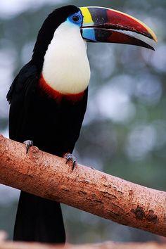 Toucan, mit blau wie in Peru am Amazonasfluss, sonst sind die meist um die Augen nicht blau.