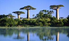 baobab trees reflected in the wetlands of the morondava river in madagascar