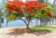 How to Grow a Flamboyant Tree
