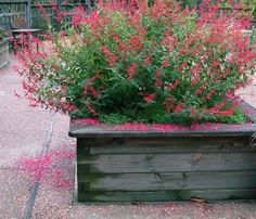 nandina domestica obsessed seika syn obsession 1m 80cm compact mutation de gulf. Black Bedroom Furniture Sets. Home Design Ideas