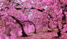 There are many cherry blossom trees in the Greenwich Park, Kensington botanical garden and some streets in London, England.�