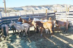 A band of 10 wild horses were captured Nov. 13 by Bureau of Land Management contractors during the bait and trap operation, which began Nov. 9, 2016