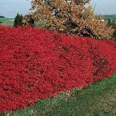 Dwarf Burning Bush Hedge...dark green in spring and summer, fiery red in fall, and red berries in winter!