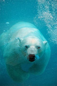 Polar bear. Let everyone of us do his or her part in reversing climate change.