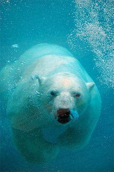 ours polaire dans l'eau - Recherche Google