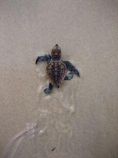 Go sea turtle, go! It's one sea turtle hatchling against the entire ocean! Cute Creatures, Beautiful Creatures, Animals Beautiful, Majestic Animals, Ocean Creatures, Cute Baby Animals, Animals And Pets, Wild Animals, Farm Animals