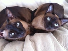 Tonkinese Cats as Pets - Trendseve. Kittens Cutest, Cats And Kittens, Cute Cats, Domestic Cat Breeds, Tonkinese Cat, Cats Outside, Exotic Cats, Owning A Cat, Cat Colors