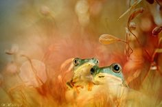 Netherlands-based macro-photographer Wil Mijer has captured the magical miniature world of colorful tropical frogs...