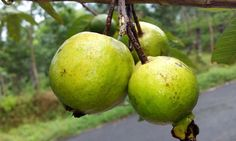Guava which is also known as Amrood is a tropical fruit that grows on the small plant of the same name and is