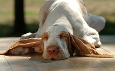 Top 10 Things Basset Hounds Don't Like