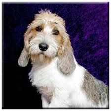 Petit Basset Griffon Vendeen (PBGV) Look at that face! Doggies, Pet Dogs, Dog Cat, Cocker Bebe, Cute Puppies, Dogs And Puppies, Animals And Pets, Cute Animals, Petit Basset Griffon Vendeen