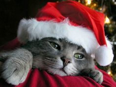 cute Santa Claus cat