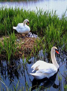 Hello everyone,Welcome to Beautiful Pictures community, Thanks for joining us Beautiful Swan, Beautiful Birds, Cygnus Olor, Animals And Pets, Cute Animals, Mute Swan, Pond Life, All Birds, Bird Pictures