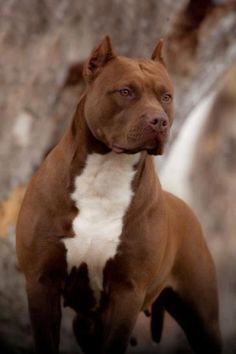 Do you love Pitbull? If yes read the types of Pitbull Breeds that are really popular right now. This list of Pitbull breed is very famous because of their extra ordinary characteristics Pitbull Terrier, Amstaff Terrier, Bull Terriers, Big Dogs, Cute Dogs, Dogs And Puppies, Doggies, Beautiful Dogs, Animals Beautiful