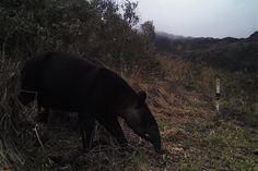 Día Internacional del Tapir: las amenazas que enfrenta el gran arquitecto de los bosques Areas Protegidas, Fauna, Black Bear, Panther, Animals, Forests, Spectacled Bear, Big Architects, International Day Of