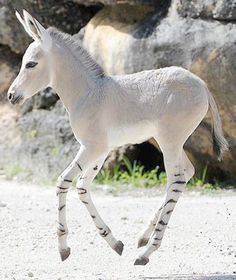 So cute! I would love to have a zebra and a horse or donkey and breed my own exotic hybrids :) I could have a zonky farm :D