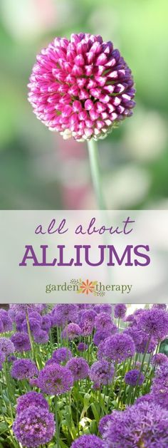 All About Alliums - Alliums are wonderful, unique-looking plants that come in a ton of different varieties. Allium Flowers, Bulb Flowers, Planting Flowers, Flowers Garden, Flower Gardening, Edible Flowers, Purple Flowers, White Flowers, Outdoor Plants