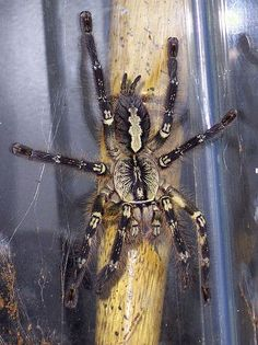 10 Most Poisonous Spiders on Earth -Fringed Ornamental Tarantula The Fringed ornamental tarantula is quite a venomous spider, with cases of coma reported in the tropics as a result of its bite. Not a lot is known about this spider's venomosity. It is known, however, that almost all tarantulas have large fangs, and even though most are harmless, in this case the bite can cause serious harm, not to mention intense pain!