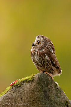 Northern Saw-whet Owl, a miniature owl native to North America ~ By Jason Idzerda