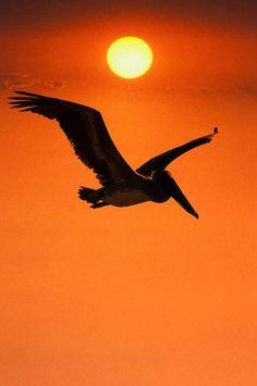 pelican-flight-sunset-silhouette_9705.jpg (311×468)