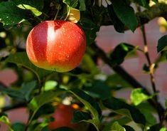 Landschapsbeheer Drenthe organiseert op zaterdag 18 maart 2017 in Klijndijk een beginnerscursus over het snoeien van jonge hoogstamfruitbomen. Het snoeien van fruitbomen is een vak apart en goede kennis en voorbereiding is zeer aan te raden. Wilt u leren snoeien of uw kennis erover opfrissen?  Lees verder op onze website.