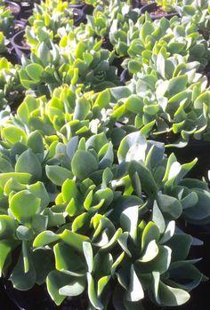 Crassula ovata 'Undulata', or Crassula blue waves, looks almost too lush to be a succulent.   #succulents_groundcover  #crassula_blue_waves  #succulents_blue