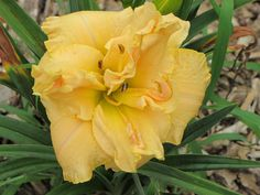 Daylily (Hemerocallis 'Tropical Champagne') in the Daylilies Database (All Things Plants)