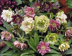 Google Image Result for http://www.dungevalley.co.uk/Helleborus%2520mixed%2520doubles.jpg