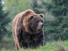 Grizzly Bear in Autumn, Glacier National Park, MT by Michael Leggero