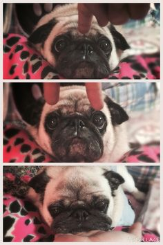 I told Cheeze to focus and he gave me this tired look at the end. #pug