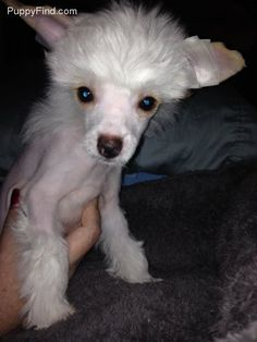 Chinese Crested Pictures (7rak3fgri25)