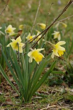 Narcissus pseudonarcissus / Wilde narcis bloeit in maart met lichtgele kelkblaadjes en een fel gele trompet. Staat bij voorkeur op vochthoudende plaat in zon of halfschaduw. Hoogte ca. 30 cm. Goed voor verwildering. Trekt de eerste hommels en honingbijen aan.